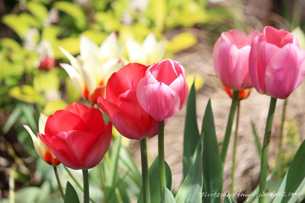 frühling, köln, sonne, sonnenschein, sonntagsspaziergang, nikesherztanzt , himmelblau, tulpen