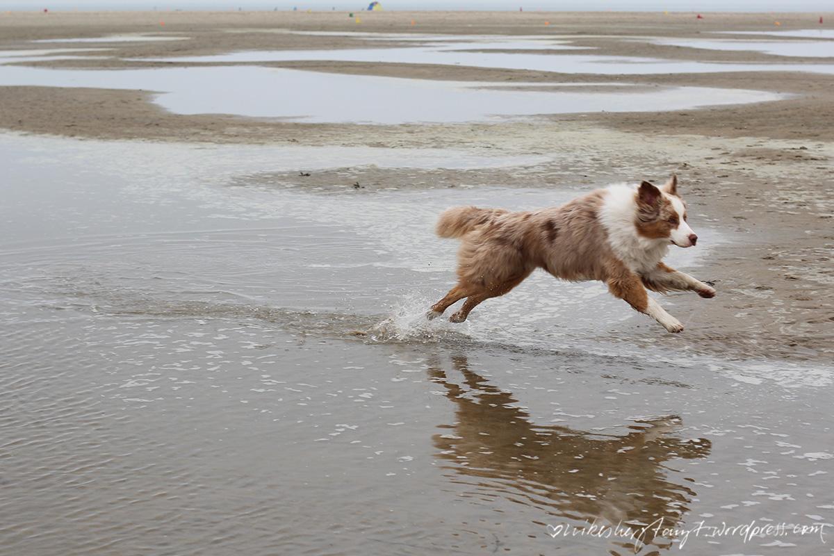 australian shepherd, tobt am strand, zeeland, holland, niederlande, nordsee, meer, roadtrip