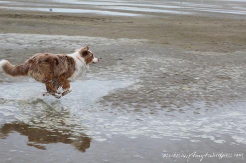 australian shepherd tobt am strand, zeeland, holland, brouwersdam,niederlande, nordsee, meer, roadtrip
