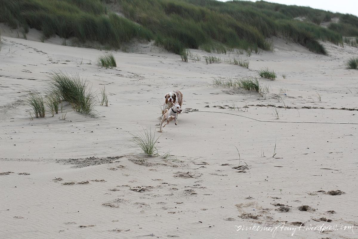 podenco, australian shepherd, zeeland, holland, brouwersdam,niederlande, nordsee, meer, roadtrip