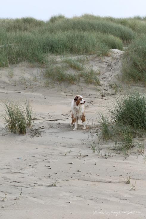 australian shepherd, zeeland, holland, brouwersdam,niederlande, nordsee, meer, roadtrip