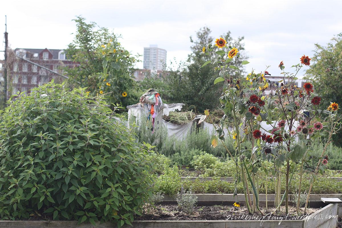 rotterdamse munt, lokale kruiden met eigenwaarde, kräuter, stadtgarten, rotterdam, zuid, urban gardening, holland, netherlands, nikesherztanzt